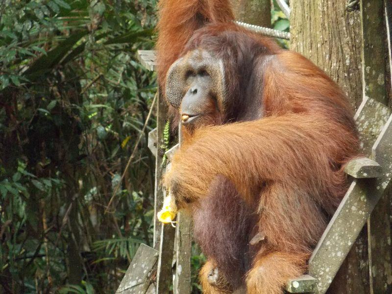 Orang-Utan auf Borneo/Malaysia