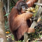 Orang-Utan auf Borneo/Malaysia